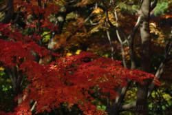 2015_autumn_momiji_01
