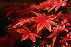 2015_autumn_momiji_02